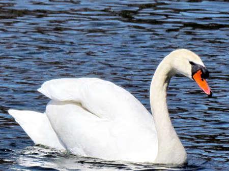svan: Big Svan Bella bianco sulla Grenadier Pond in High Park, Toronto