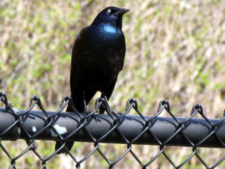 thornhill:  Common Grackle isolated on the fence in Thornhill Ontario, Canada                               Stock Photo