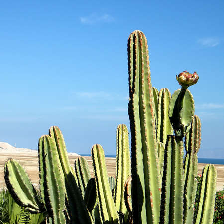 San Pedro Cactus in Ein Gedi on Dead Sea coast, Israel Stock Photo