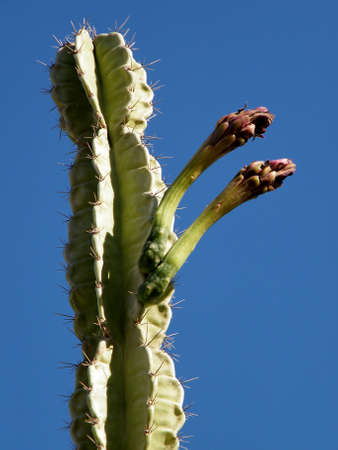 san pedro: Buds of San Pedro Cactus in Ein Gedi on Dead Sea coast, Israel Stock Photo
