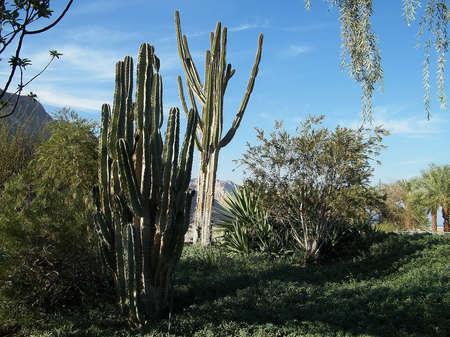 ein: Cactus thicket  in Ein Gedi on Dead Sea coast, Israel Stock Photo
