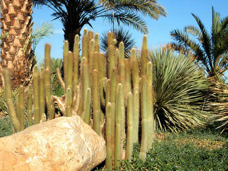 ein: Cleistocactus in Ein Gedi on Dead Sea coast, Israel