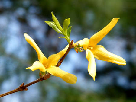 forsythia flower images  stock pictures. royalty free forsythia, Beautiful flower