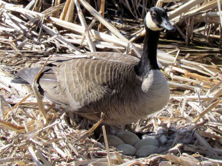 Canadian goose cares for its eggs near Oakbank Pond in Thornhill, Canada                               photo