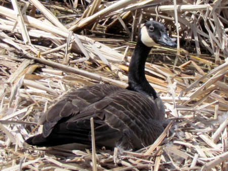 oakbank:  Canadian goose sitting on eggs near Oakbank Pond in Thornhill, Canada                                     Stock Photo