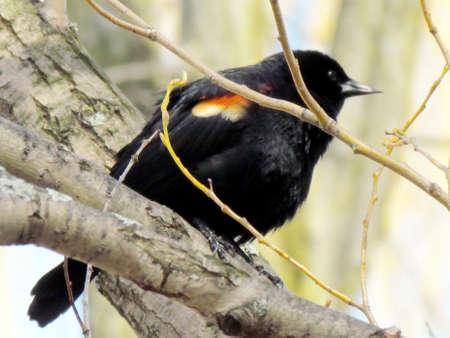 oakbank:  Red-winged Blackbird on a tree near Oakbank Pond in Thornhill, Canada                               Stock Photo
