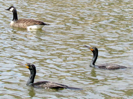 Two Double Crested Cormorants and geese on Oakbank Pond in Thornhill, Canada                               Stock Photo - 13787904