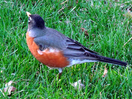 thornhill:   American Robin on green grass in Thornhill Ontario, Canada                                Stock Photo