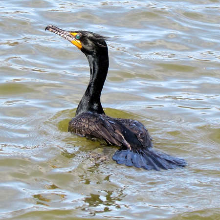 oakbank:  Double Crested Cormorant isolated on Oakbank Pond in Thornhill, Canada