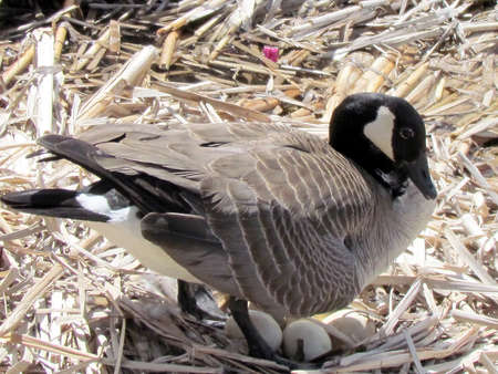 oakbank:  Canadian goose  sits on eggs near Oakbank Pond in Thornhill, Canada