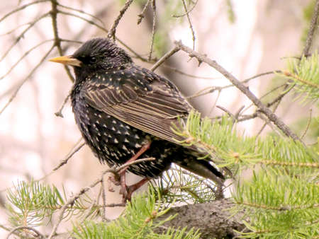 Common Starling on a tree in Thornhill Onta, Canada                               Stock Photo - 13752287