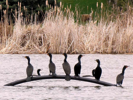 oakbank: Flock  Double Crested Cormorants at evening on Oakbank Pond in Thornhill, Canada