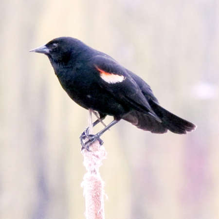 oakbank: Red-winged Blackbird on reed on the bank of Oakbank Pond in Thornhill, Canada                                     Stock Photo
