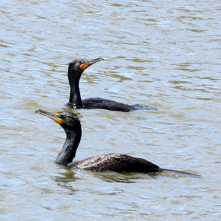 Two Cormorants on Oakbank Pond in Thornhill, Canada                                                              Stock Photo - 13752296