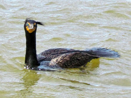 oakbank: Double Crested Cormorant in early spring on Oakbank Pond in Thornhill, Canada