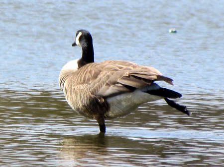 thornhill: Canadian Goose dancing on bank of Oakbank Pond in Thornhill, Canada