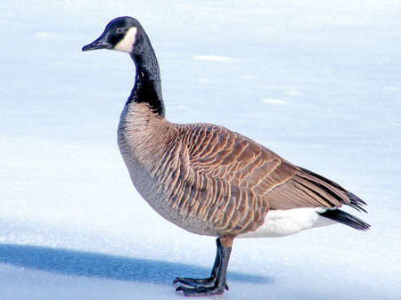oakbank: Canadian Goose on ice of Oakbank Pond in Thornhill, Canada