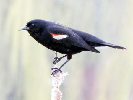 Red-winged Blackbird in early spring near Oakbank Pond in Thornhill, Canada                                     Stock Photo - 13806607