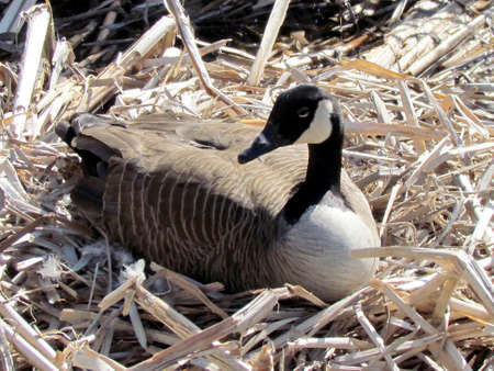 thornhill:  Canadian goose sitting on eggs among the reeds near Oakbank Pond in Thornhill, Canada                                  Stock Photo