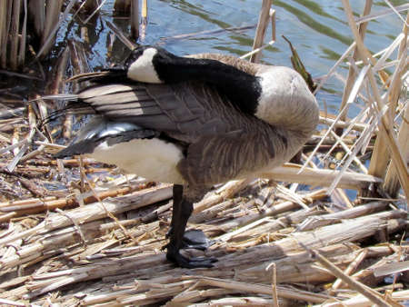 Canadian Goose cleaning feather on bank of Oakbank Pond in Thornhill, Canada                                 Stock Photo - 13836142
