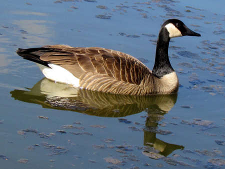 oakbank: Goose on Oakbank Pond in Thornhill, Canada                                Stock Photo