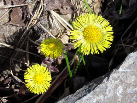 thornhill:  Colts Foot or Tussilago farfara on stone in Thornhill, Canada                             Stock Photo