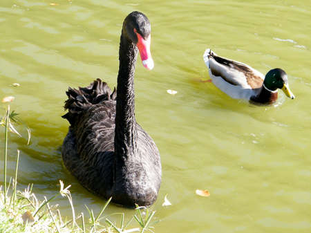 Black Swan and Drake in a pond of Ramat Gan Park, Israel photo