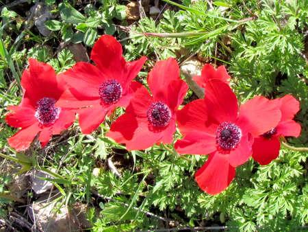 Red Crown Anemone flowers in winter in Shoham, Israel