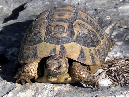centenarian: Tortuga en las rocas de Shoham, Israel