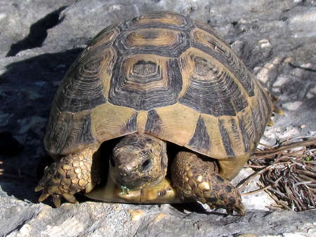 centenarian: Turtle on the rocks in Shoham, Israel                                 Stock Photo