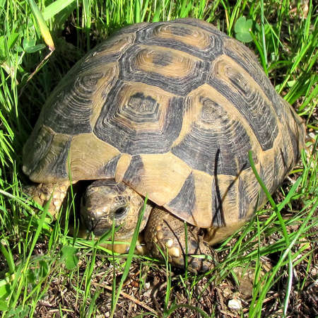 centenarian: Turtle on a grass in Shoham, Israel