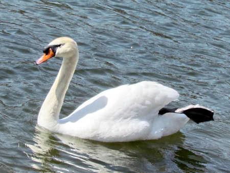 high park: Bianco Svan della primavera su Pond Grenadier in High Park, Toronto