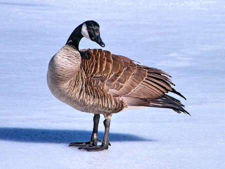 oakbank: Portrait of Canadian Goose is on ice of Oakbank Pond in Thornhill, Canada