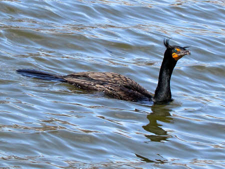 oakbank: Double Crested Cormorant the early spring on Oakbank Pond in Thornhill, Canada                                           Stock Photo