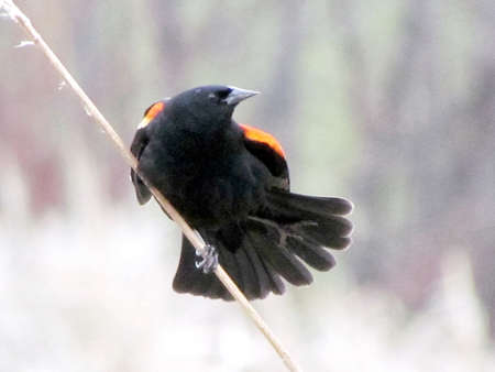 thornhill: Red-winged Blackbird fanning its tail on the bank of Oakbank Pond in Thornhill, Canada