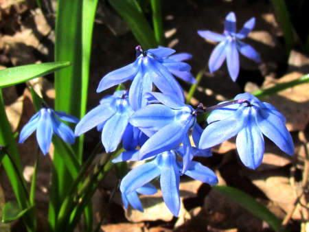 thornhill: Blue Snowdrop flowers the early spring in Thornhill Ontario, Canada                               Stock Photo