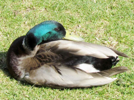Drake resting on grass in Ramat Gan Park, Israel                                photo