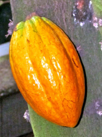 Theobroma Cacao fruit isolated  in garden in Washington DC, USA                               photo