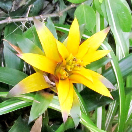 cryptanthus: Yellow Billbergia flower isolated  in garden in Washington DC, USA