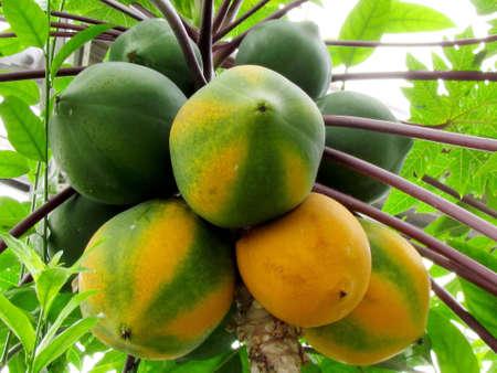 papaya tree:  Fruits of Papaya tree in garden in Washington DC, USA