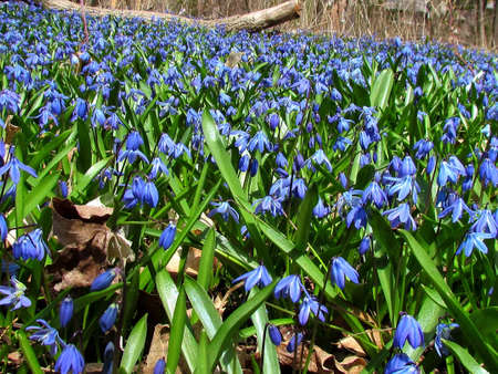 Field of blue snowdrops in Thornhill Ontario, Canada Stock Photo - 16519638