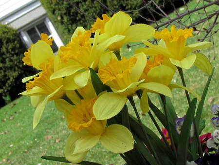 thornhill: Yellow large narcissuses in Thornhill Ontario, Canada                           Stock Photo