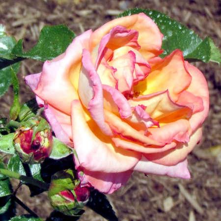 vertica:  World rose isolated in garden in Toronto, Canada                                Stock Photo