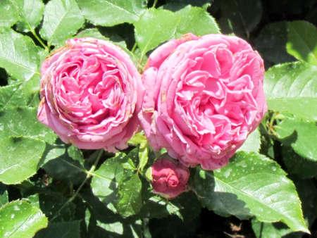 Pink Hybrid Tea Meitoifar Rose in garden in Toronto, Canada