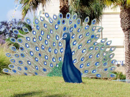 Beautiful metallic decorative peacock in Or Yehuda, Israel                                     Stock Photo