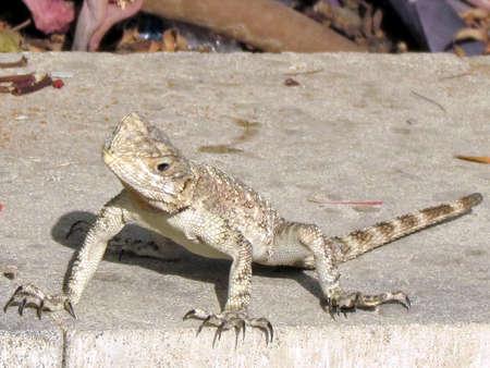 grasp:  Curious lizard looking at camera in  Or Yehuda, lizard                               Stock Photo