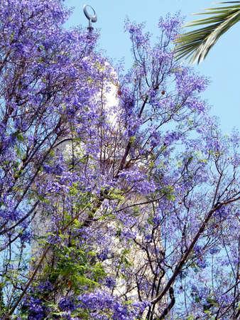 omar: Jacaranda tree in bloom near Sidna Omar Mosque in the old city of Jerusalem, Israel Stock Photo