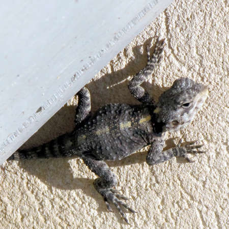 grasp: Lizard crawls out of hiding in Neve Monosson, Israel