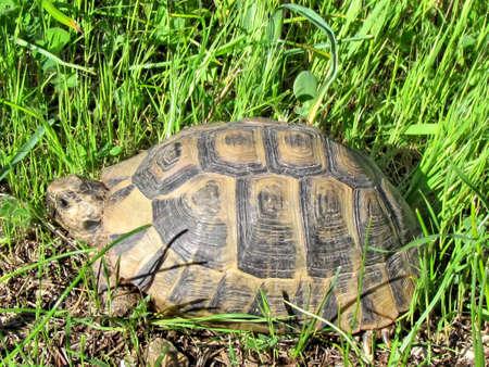 centenarian: La tortuga en una hierba verde en Shoham, Israel