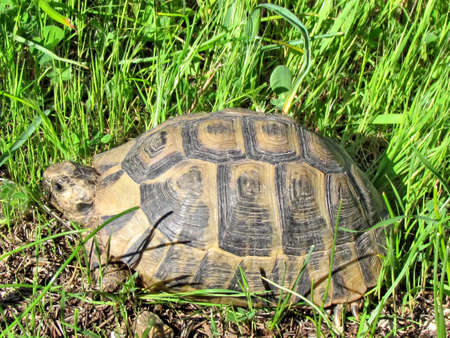 centenarian: The turtle on a green grass in Shoham, Israel